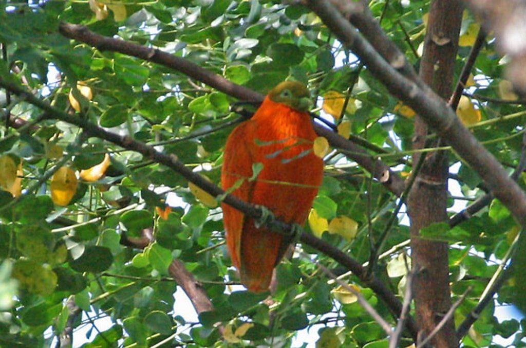 Orange Dove photo on a birdwatching tour with Paradise Courses
