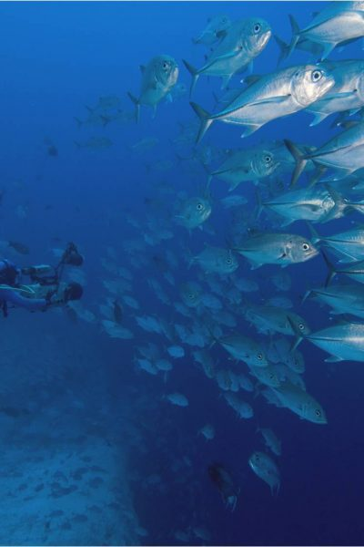 A diver swimming among Trevally fish.